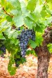 Το γαλλικό κόκκινο και αυξήθηκε σταφύλια κρασιού φυτεύει, πρώτη νέα συγκομιδή του σταφυλιού κρασιού στη Γαλλία, AOP Costieres de  στοκ εικόνα
