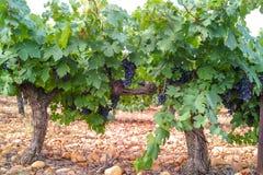 Το γαλλικό κόκκινο και αυξήθηκε σταφύλια κρασιού φυτεύει, πρώτη νέα συγκομιδή του σταφυλιού κρασιού στη Γαλλία, AOP Costieres de  στοκ φωτογραφία με δικαίωμα ελεύθερης χρήσης