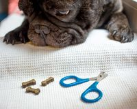 Το γαλλικό μπουλντόγκ είναι στον πίνακα, έτοιμο για το ψαλίδισμα καρφιών ζωική προσοχή, έννοια μανικιούρ σκυλιών στοκ εικόνα