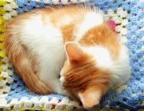 Το γατάκι κατσάρωσε επάνω και ύπνος Στοκ Φωτογραφία