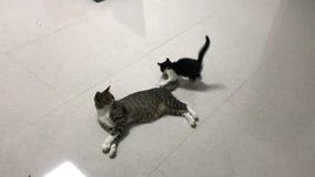 Το γατάκι παίζει με την ουρά μητέρων απόθεμα βίντεο