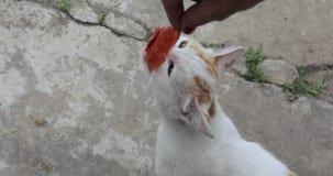 Το γατάκι τρώει το λουκάνικο απόθεμα βίντεο