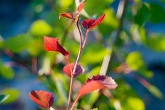 Το γαλαζοπράσινο ηλιόλουστο υπόβαθρο με το κόκκινο βγάζει φύλλα olant στο μέτωπο Στοκ Εικόνες