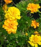 Το γαλλικό marigold patula Tagetes ενάντια σε πράσινο το υπόβαθρο Στοκ φωτογραφία με δικαίωμα ελεύθερης χρήσης