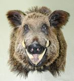 Το γεμισμένο κεφάλι ενός άγριου κάπρου Στοκ Εικόνες