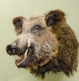 Το γεμισμένο κεφάλι ενός άγριου κάπρου Στοκ φωτογραφία με δικαίωμα ελεύθερης χρήσης