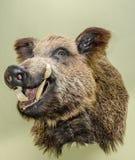 Το γεμισμένο κεφάλι ενός άγριου κάπρου Στοκ Εικόνα