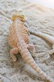 Το γενειοφόρο γενειοφόρο ζώο είναι δημοφιλή κατοικίδια ζώα Στοκ εικόνα με δικαίωμα ελεύθερης χρήσης