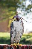 Το γεράκι πετριτών που στηρίζεται μετά από το πουλί παρουσιάζει, Ουγγαρία Στοκ Φωτογραφία