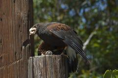 Το γεράκι του Harris τρώει ένα ποντίκι σε ένα κούτσουρο στο πουλί ζωολογικών κήπων Λα παρουσιάζει στοκ εικόνα με δικαίωμα ελεύθερης χρήσης