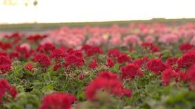 Το γεράνι ανθίζει κινηματογράφηση σε πρώτο πλάνο Ανθίζοντας λουλούδια σε ένα μεγάλο σύγχρονο θερμοκήπιο Ανθίζοντας γεράνια στα δο φιλμ μικρού μήκους