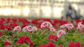 Το γεράνι ανθίζει κινηματογράφηση σε πρώτο πλάνο Ανθίζοντας λουλούδια σε ένα μεγάλο σύγχρονο θερμοκήπιο Ανθίζοντας γεράνια στα δο απόθεμα βίντεο
