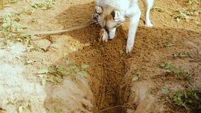 Το γεροδεμένο σκυλί σκάβει ένα μεγάλο κοίλωμα στην άμμο φιλμ μικρού μήκους