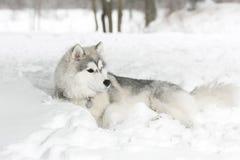 Το γεροδεμένο κουτάβι που βάζει στο χιόνι Στοκ Εικόνες