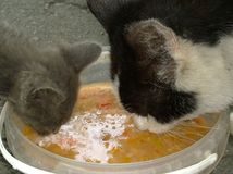 Το γεύμα των περιπλανώμενων γατών Στοκ Εικόνα