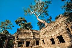 Το γιγαντιαίο δέντρο που καλύπτει το TA Prom και το ναό Angkor Wat, Siem συγκεντρώνει, ασβέστιο Στοκ Εικόνα