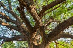 Το γιγαντιαίο δέντρο mimosa Στοκ Εικόνες