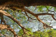 Το γιγαντιαίο δέντρο mimosa Στοκ Εικόνα