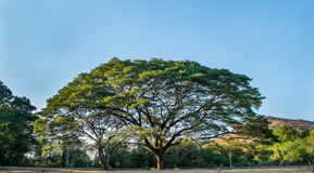 Το γιγαντιαίο δέντρο mimosa Στοκ φωτογραφία με δικαίωμα ελεύθερης χρήσης
