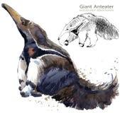 Το γιγαντιαίο χέρι anteater σύρει την απεικόνιση watercolor Στοκ εικόνα με δικαίωμα ελεύθερης χρήσης