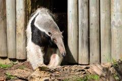 Το γιγαντιαίο anteater tridactyla Myrmecophaga βγαίνει από το ξύλινο σπίτι του μετά από ένα μακρύ NAP Στοκ Εικόνα