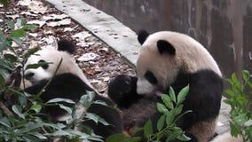 Το γιγαντιαίο panda αντέχει φιλμ μικρού μήκους