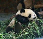 Το γιγαντιαίο panda Στοκ Εικόνες