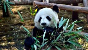 Το γιγαντιαίο panda Στοκ Εικόνα