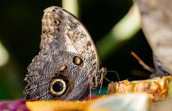Το γιγαντιαίο telamonius Caligo κουκουβαγιών memnon, πεταλούδα τρώει τον ανανά juic Στοκ φωτογραφία με δικαίωμα ελεύθερης χρήσης