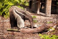 Το γιγαντιαίο tridactyla Myrmecophaga anteater προμηθεύει με ζωοτροφές κάτω από τα κούτσουρα Στοκ Εικόνες