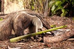 Το γιγαντιαίο tridactyla Myrmecophaga anteater προμηθεύει με ζωοτροφές κάτω από τα κούτσουρα Στοκ φωτογραφία με δικαίωμα ελεύθερης χρήσης