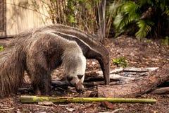 Το γιγαντιαίο tridactyla Myrmecophaga anteater προμηθεύει με ζωοτροφές κάτω από τα κούτσουρα Στοκ Φωτογραφίες