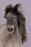 το γκρίζο άλογο τρέχει yakut Στοκ εικόνα με δικαίωμα ελεύθερης χρήσης