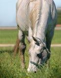 Το γκρίζο άλογο βόσκει στο φως ήλιων Στοκ φωτογραφία με δικαίωμα ελεύθερης χρήσης