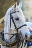 Το γκρίζο άλογο στο παλαιό λουρί περιμένει τον αναβάτη Στοκ Εικόνα