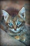 Το γκρίζο γατάκι γατακιών φαίνεται λίγο γατάκι Στοκ φωτογραφίες με δικαίωμα ελεύθερης χρήσης