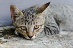 Το γκρίζο γατάκι στηρίζεται Στοκ Εικόνες