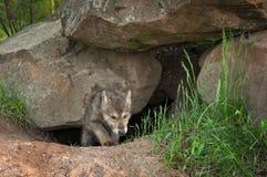 Το γκρίζο κουτάβι Λύκου Canis λύκων σέρνεται από το κρησφύγετο στοκ φωτογραφίες με δικαίωμα ελεύθερης χρήσης