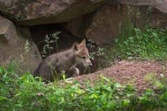 Το γκρίζο κουτάβι Λύκου Canis λύκων σέρνεται επάνω από το κρησφύγετο Στοκ Φωτογραφίες