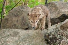 Το γκρίζο κουτάβι λύκων (Λύκος Canis) κοιτάζει κάτω από επάνω στο βράχο Στοκ Εικόνα