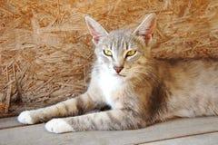 Το γκρίζο λυγξ γατών με τα μεγάλα αυτιά και τα κίτρινα μάτια βρίσκεται άστεγο κακό Στοκ Εικόνες