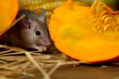 Το γκρίζο ποντίκι κινηματογραφήσεων σε πρώτο πλάνο κρύβεται κοντά στην πορτοκαλιά κολοκύθα στο οψοφυλάκιο στοκ φωτογραφίες