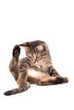 Το γκρίζο τιγρέ γατάκι που αυξάνει το οπίσθιο πόδι του εξετάζει την ουρά σε ένα wh Στοκ Εικόνα