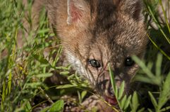 Το γκρίζο cinereoargenteus Urocyon εξαρτήσεων αλεπούδων κοιτάζει μέσω της χλόης Στοκ φωτογραφία με δικαίωμα ελεύθερης χρήσης