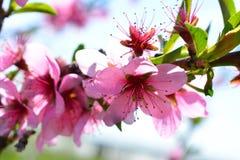 Το γλυκό ρόδινο ανθίζοντας ροδάκινο λουλουδιών καλλιεργεί την άνοιξη Blossomi Στοκ Εικόνες