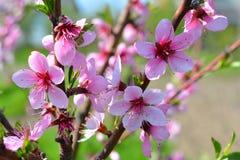 Το γλυκό ρόδινο ανθίζοντας ροδάκινο λουλουδιών καλλιεργεί την άνοιξη Blossomi Στοκ Φωτογραφίες