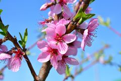Το γλυκό ρόδινο ανθίζοντας ροδάκινο λουλουδιών καλλιεργεί την άνοιξη Blossomi Στοκ εικόνα με δικαίωμα ελεύθερης χρήσης