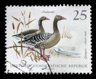 Το γραμματόσημο που τυπώνεται στην ΟΔΓ παρουσιάζει εικόνα των χήνων ενός Graylag Στοκ φωτογραφία με δικαίωμα ελεύθερης χρήσης