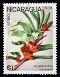 Το γραμματόσημο που τυπώνεται στη Νικαράγουα παρουσιάζει manglesii Anigozanthos Στοκ Φωτογραφίες
