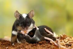 Το γραπτό διακοσμητικό ποντίκι κινηματογραφήσεων σε πρώτο πλάνο τρώει τα καρότα, θηλάζει τον απόγονο και την εξέταση τη κάμερα στοκ φωτογραφίες